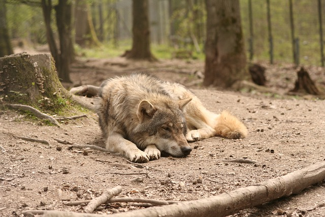 Wolf, Canis Lupus, Enclosure, Zoo, Forest, Animals