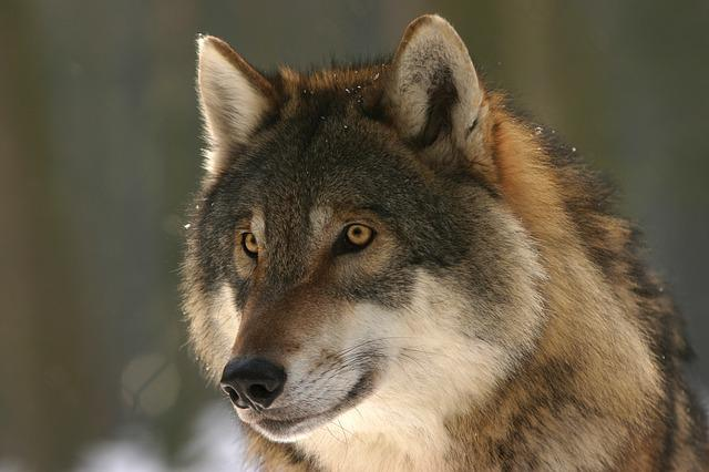 Wolf, Zoo, Canis Lupus, Canine, Mammal, Wolves