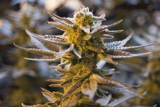 Cannabis, Pot, Weed, Marijuana, Drug, Plant, Natural