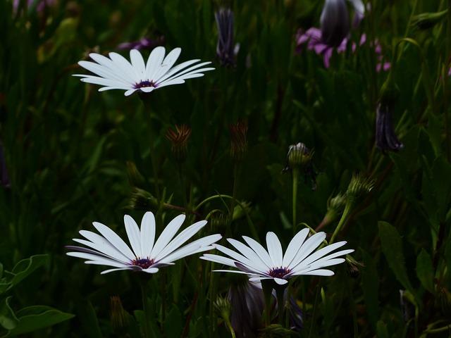 Cape Basket, Flowers, White, Osteospermum, Cape Daisies