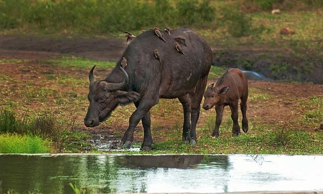 Cape Buffalo, Calf, Mother, Oxpecker, Cape, Buffalo