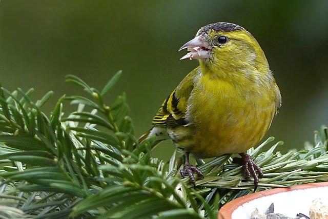 Cape Canary, Serinus, Male, Bird, Animal, Winter