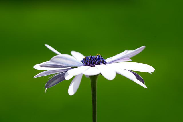 Flower, Blossom, Bloom, White, Osteospermum, Cape Daisy