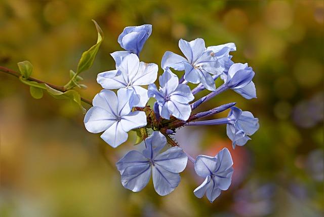 Nature, Plant, Flower, Auriculata, Cape Europaea