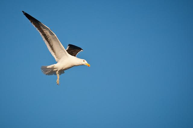 Kelp Gull In Flight, Cape Gull, Seabird, Seagull