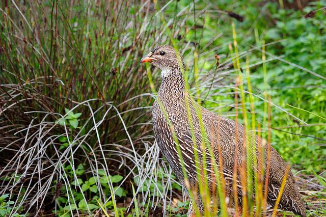 Cape Spurfowl, Francolin, Bird, Nature, Animal