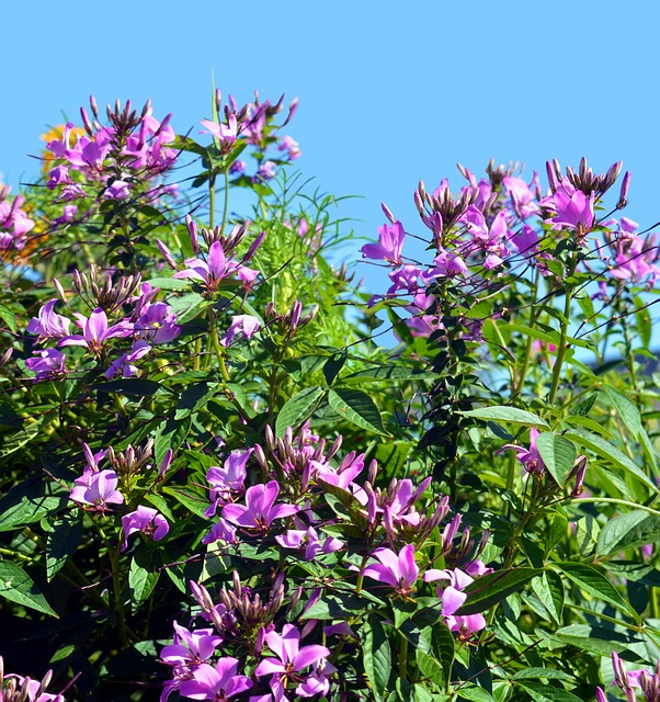 Spider Flower, Cleome Spinosa, Capparaceae, Pink