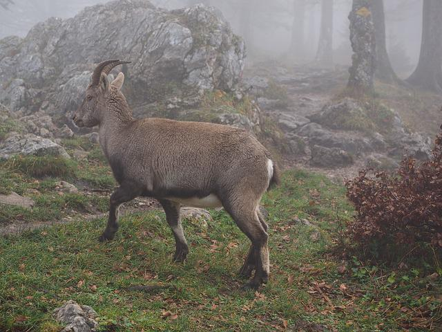 Alpine Ibex, Capricorn, Animal, Fog, Foggy, Capra Ibex