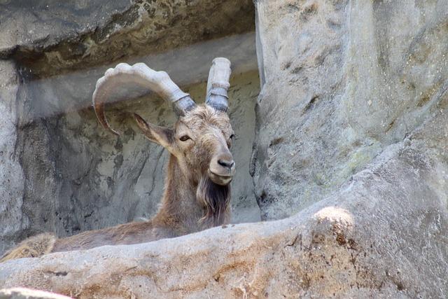 Capricorn, Alpine Ibex, Male, Horns, Alpine, Mammal