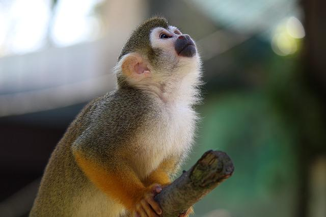Squirrel Monkey, Monkey, Capuchin-like, Saimiri