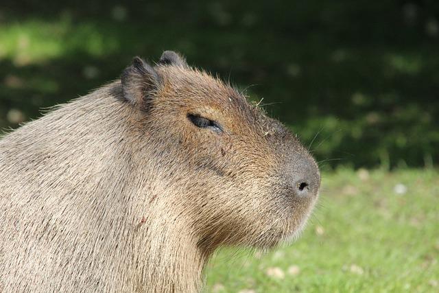 Capybara, Rodent, Hydrochoerus Hydrochaeris, Nager