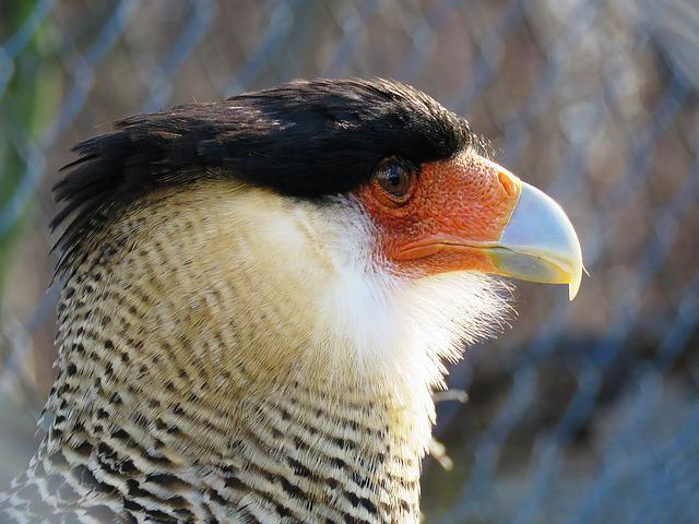 Caracara, Bill, Bird Of Prey, Raptor