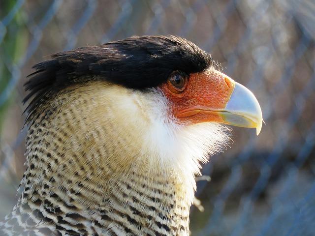 Caracara, Bill, Bird Of Prey, Raptor