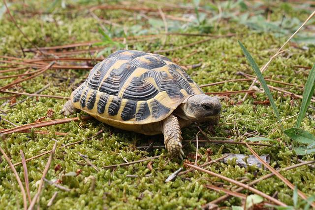 Turtle, Nature, Animal, Carapace, Little Turtle