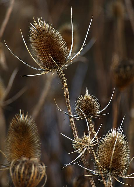 Card, Infructescence, Dried, Backlighting, Wild Cards