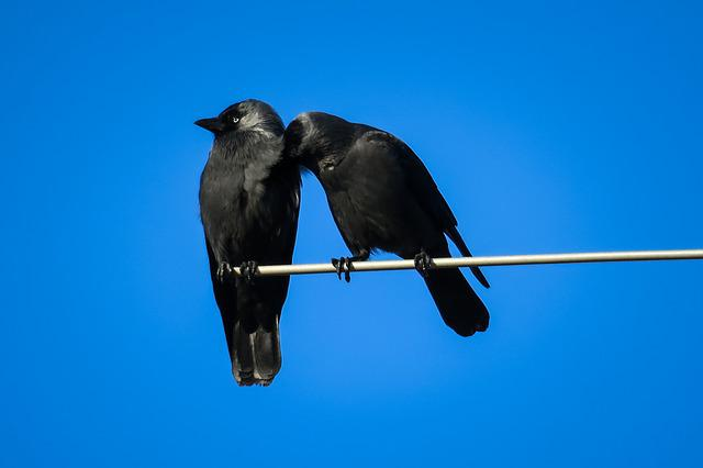 Jackdaws, Couple, Clean, Care, Cleaning, Team