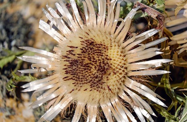 Thistle, Silver Thistle, Carlina Acaulis, Flower