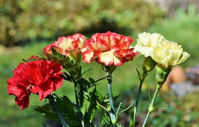 Cloves, Carnation Bouquet, Schnittblume, Petals