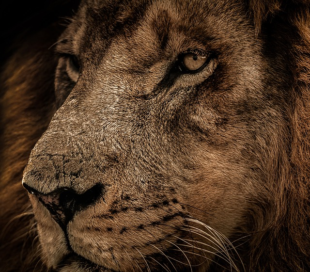 Mammal, Wildlife, Cat, Carnivore, Animal, Lion, Hunter
