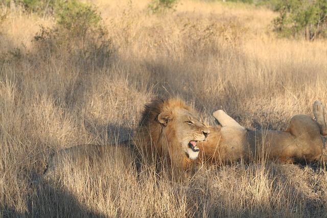 Mammal, Animal Roaring Lion, Lion, Africa, Carnivore
