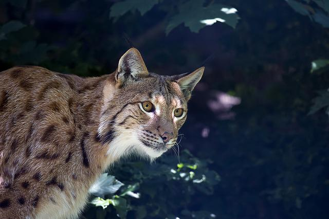 Lynx, Wildcat, Predator, Carnivore