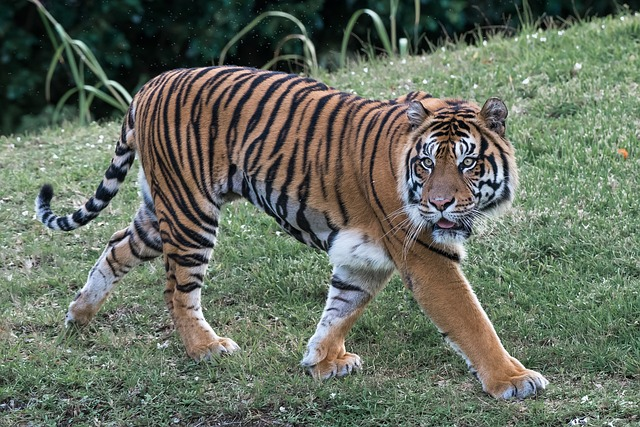 Tiger, Cat, Predator, Striped, Carnivore, Mammal, Asia