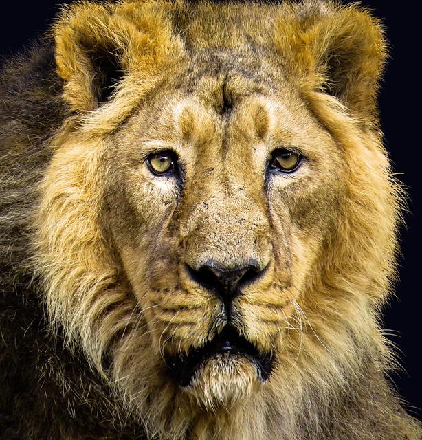 Lion, Cat, Predator, Carnivores, Animal Portrait