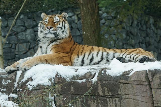 Tiger, Amurtiger, Cat, Carnivores, Winter, Snow