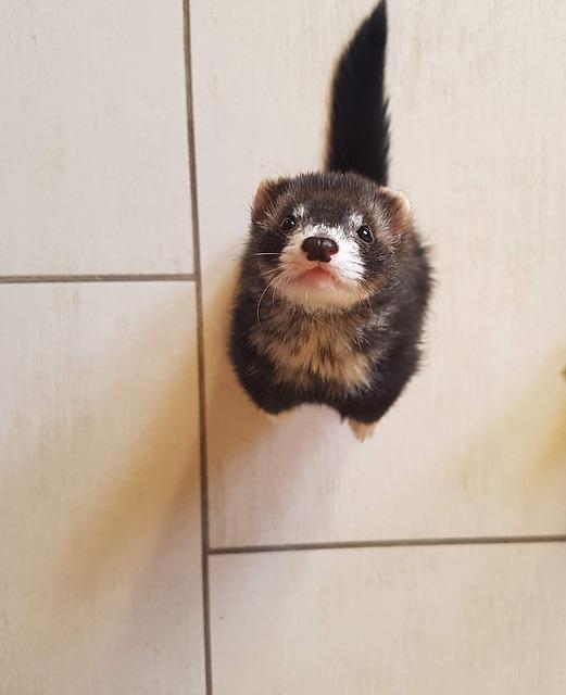 Ferret, Mustela, Furo, Animal, Nature, Carnivorous
