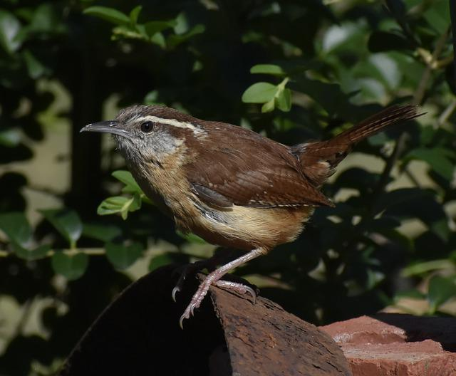 Wildlife, Bird, Nature, Outdoors, Animal, Carolina Wren