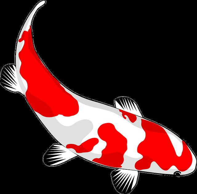 Fish, Koi, Red, White, Nishikigoi, Common Carp, Carp