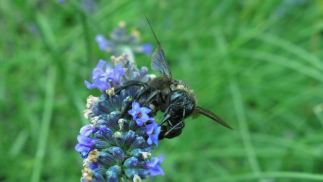 Carpenter Bee, Blue Black Wooden Bee, Insect, Bee
