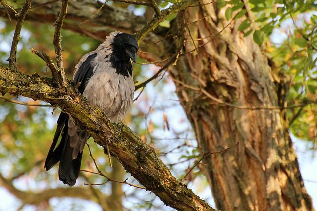 Crow, Bird, Plumage, Raven Bird, Animal, Carrion Crow