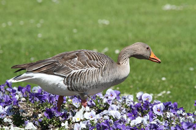 Goose, Park, Castle, Munich, Nymphenburg Palace