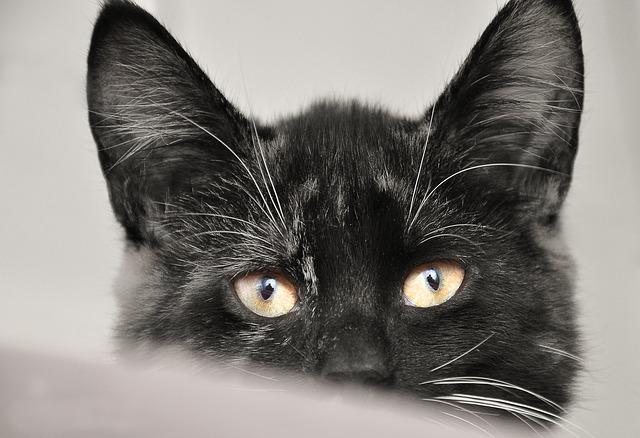 Cat, Animal, Animal Shelter, Pet, Cute, Mammal, Black