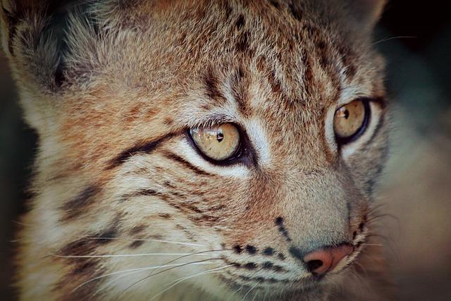 Lynx, Lynx Baby, Young Animal, Animal, Cat