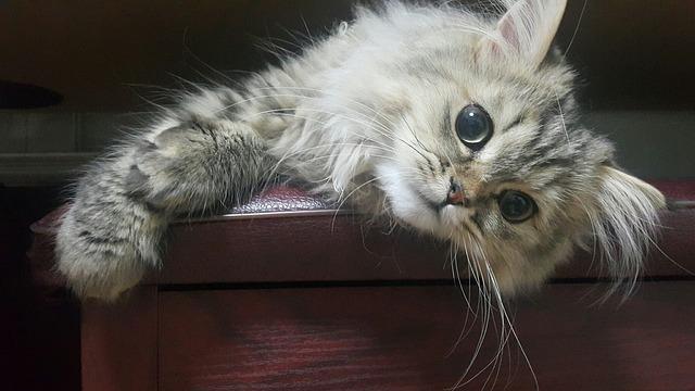 Cat, Animal, Persian