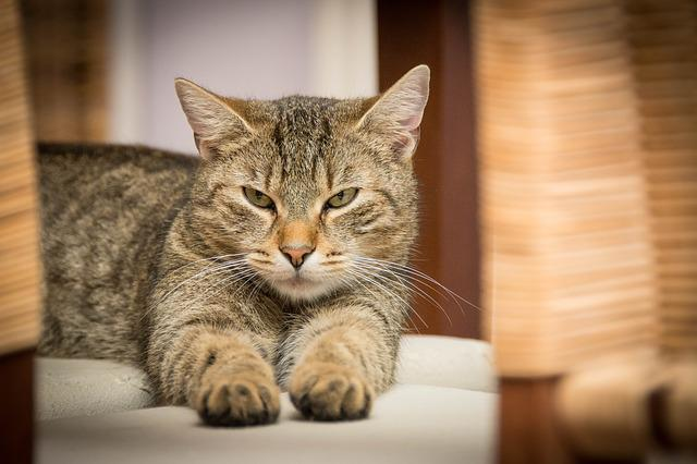 Cat, Pet, Tabby, Face, Whiskers, Animal, Domestic Cat