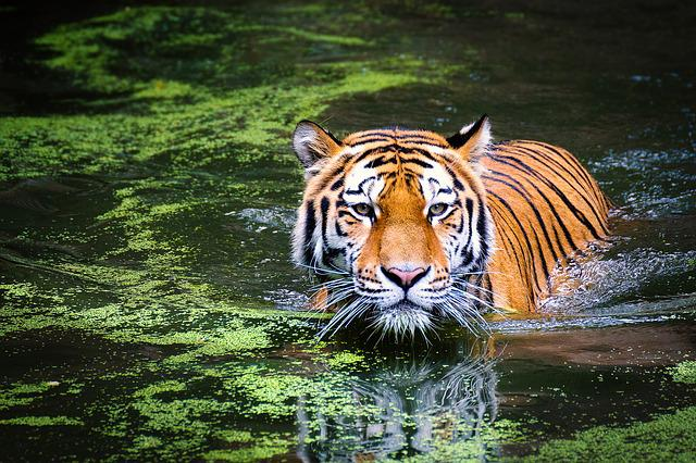 Tiger, Wildlife, Zoo, Cat, Animal World