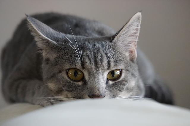 Cat, Home, Cute, Animalia