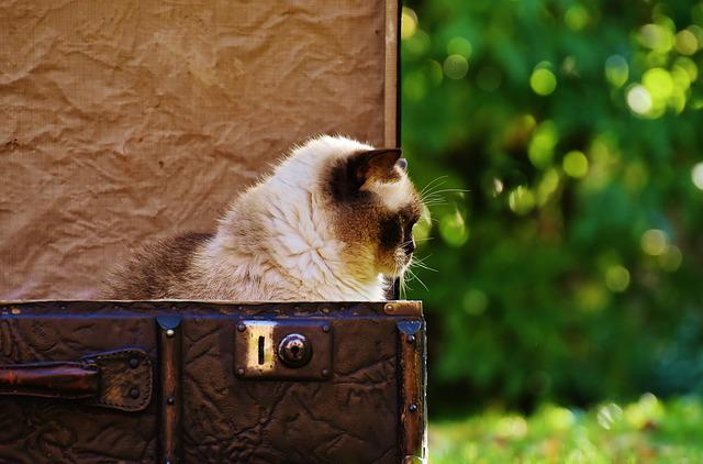 Luggage, Antique, Cat, British Shorthair, Funny