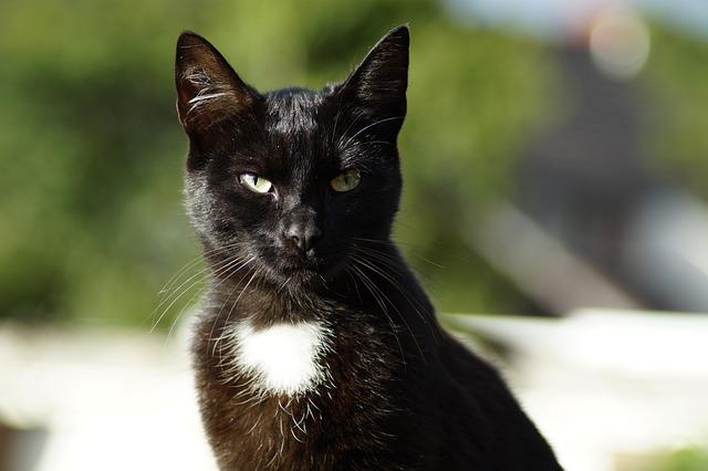 Cat, Animal, Pet, Black Cat