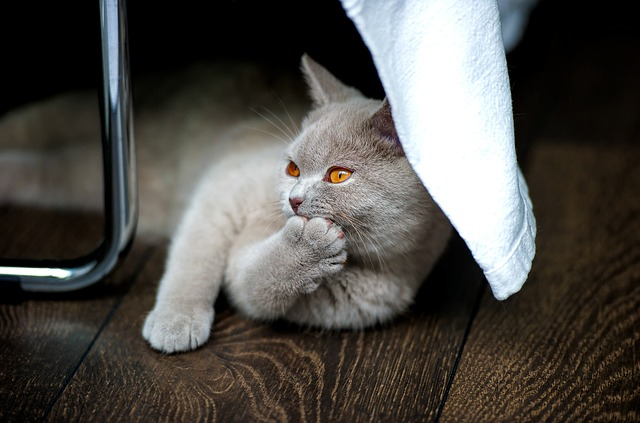 Cat, British Shorthair, Bkh, Thoroughbred, Adidas
