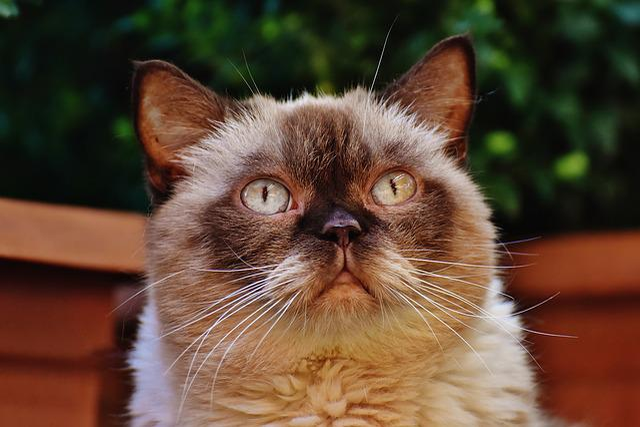 Cat, British Shorthair, Thoroughbred, Fur, Brown, Beige