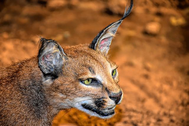 Caracal Cat, Wildlife, Cat, Animal, Caracal, Wild, Ears