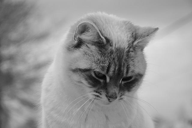 Cat, Cat With Head Down, Photo Black White, Pussy Nala