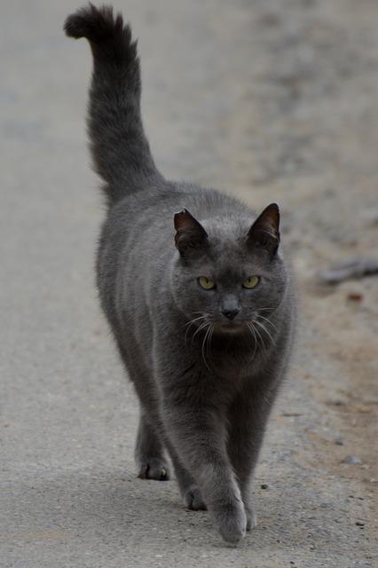 Cat, Cats, Animal, Carthusian