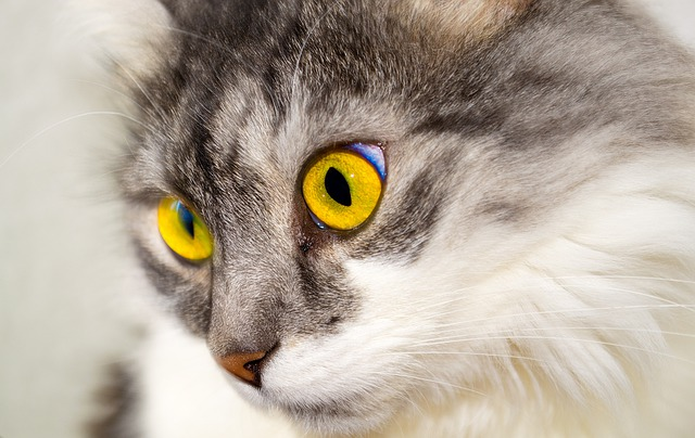 Cat, Eyes, Face, Cat Face, View, Cat's Eyes, Animal