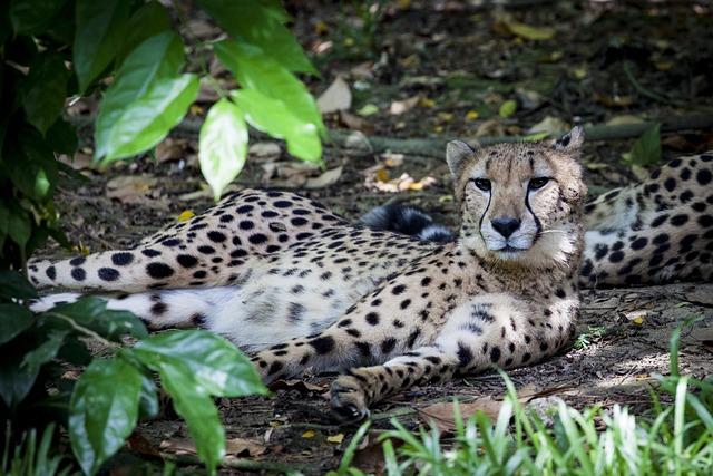Cheetah, Predator, Wild, Cat, Acinonyx, Big Cat