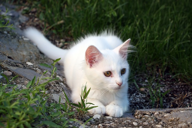 Cat, White, Pet, Cute, Animal, Nature, Feline